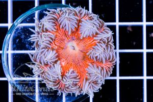 Ultra Rock Anemone Red and White Striped
