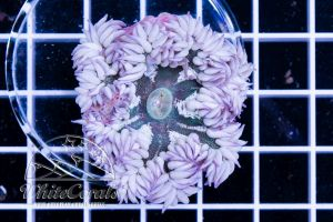 Rock Anemone White
