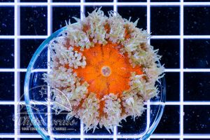 Rock Anemone Red Center