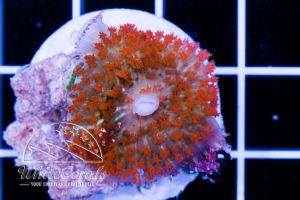 Ultra Rhodactis osculifera Bubble Mushroom Red