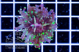 Ultra Euphyllia paradivisa Purple Green Grafted (DNZ)
