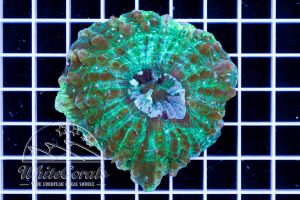 Acanthophyllia Green