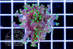 Ultra Euphyllia paradivisa Purple and Green Grafted (DNZ)