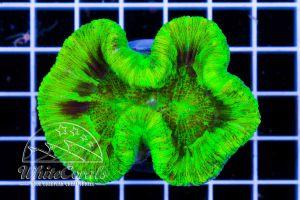Ultra Wellsophyllia Toxic Green