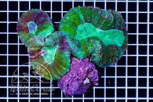 Symphyllia Green
