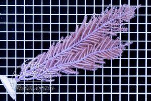 Pseudopterogorgia sp. Purple