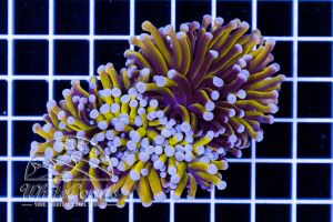 Ultra Euphyllia Golden Torch (2 Polyps)