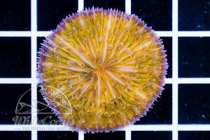 Ultra Fungia Orange