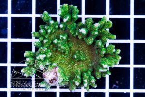 Montipora sp. Green