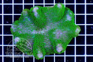 Sarcophyton sp. Neon Green Polyp
