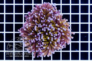 Ultra Euphyllia glabrescens Golden Torch (3 polyps)