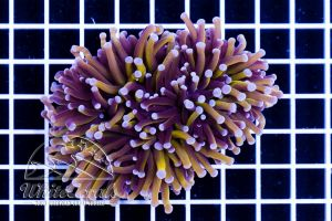 Ultra Euphyllia glabrescens Golden Torch (2 polyps)