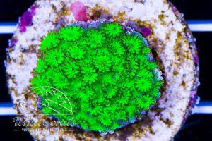 Cyphastrea Green Neon