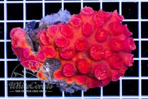 Tubastrea (Azooxanthellate)