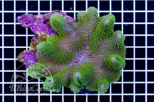 Sarcophyton sp. Aussie Green Polyp