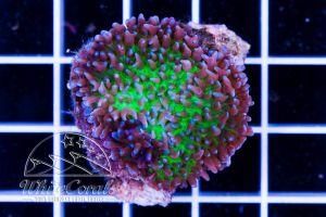 Ultra Rhodactis Fiji Bicolor