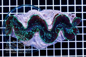 Tridacna maxima Blue XXL 12-14 cm