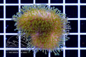 Sarcophyton sp. Green Tentacles (DNZ)