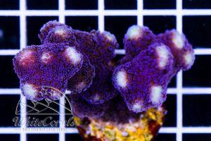 Ocean Nutrition Instant Baby Brine Shrimp 20 gr