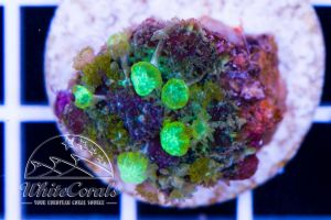 Ultra Rhodactis Green Bounce Mushroom