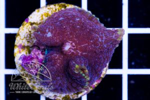 Rhodactis Royal Purple
