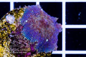 Rhodactis Purple Magic