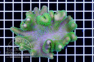 Sarcophyton sp. Aussie Green Polyps