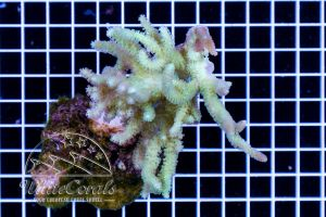 Sinularia flexiblis Fiji Green