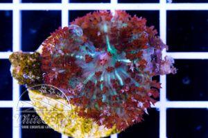 Ultra Rhodactis osculifera St Thomas Mushroom