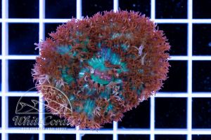 Rhodactis osculifera St Thomas Mushroom Red