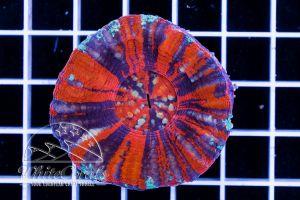 Ultra Scolymia Multicolor