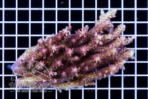 Acropora microclados Strawberry Shortcake