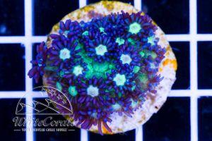Goniopora Purple and Green