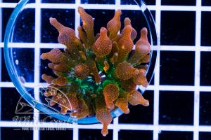 Ultra Entacmaea quadricolor Sunburst (DNZ)