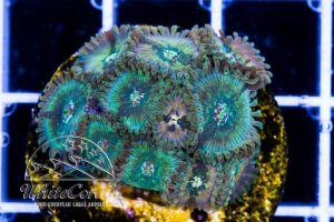 Zoanthus Hawaiian PE