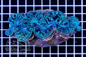 Tridacna maxima Ultra Blue XXL ca 12-14 cm