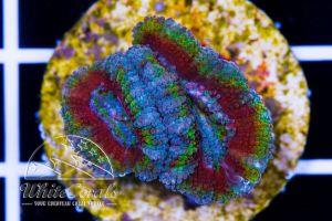 Ultra Acanthastrea Rainbow