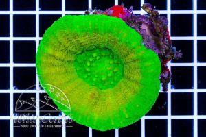 Ultra Scolymia Green
