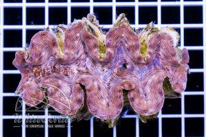 Tridacna squamosa ca 9-11 cm
