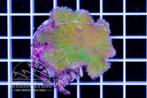Sinularia brassica Green
