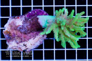 Sinularia Aussie Green