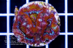 Ultra Acanthastrea Yellow Center