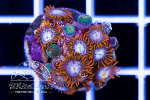 Zoanthus Fire and Ice (DNZ)