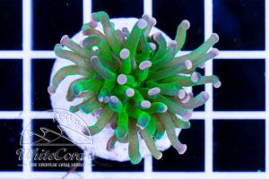 Ultra Euphyllia glabrescens Green and Orange Tips