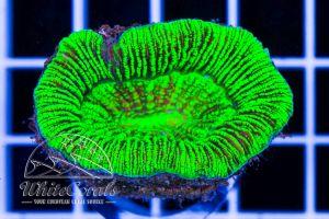 Trachyphyllia Green Neon