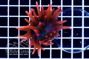 Ultra Entacmea quadricolor Super Red (DNZ)
