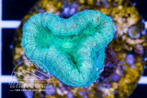 Caulastrea Mint