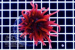 Ultra Entacmaea quadricolor Super Red (DNZ)