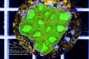 Favia Green Neon