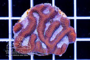 Platygyra Purple